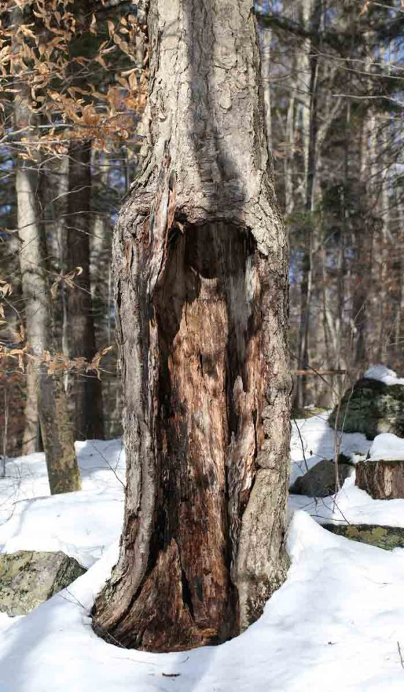 12-31-14 hollow yellow birch 027