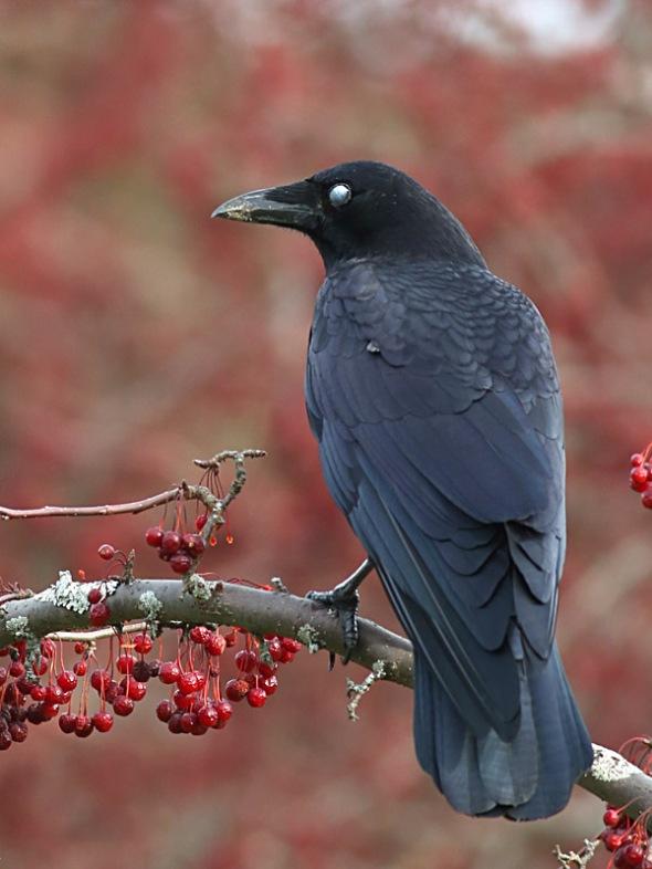 12-4-14  crow-nictitating membrance 109