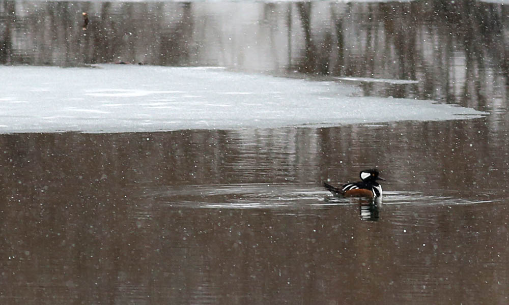 hooded merg in snow 050