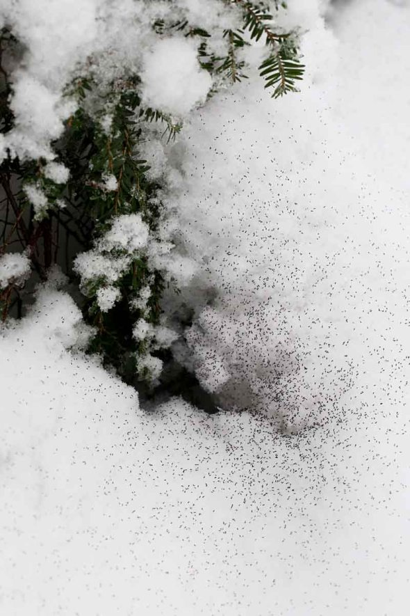 snowfleas 049A7533