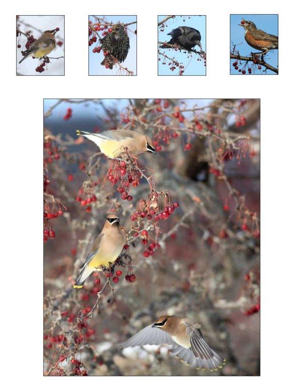 1-13-15 cedar waxwings2