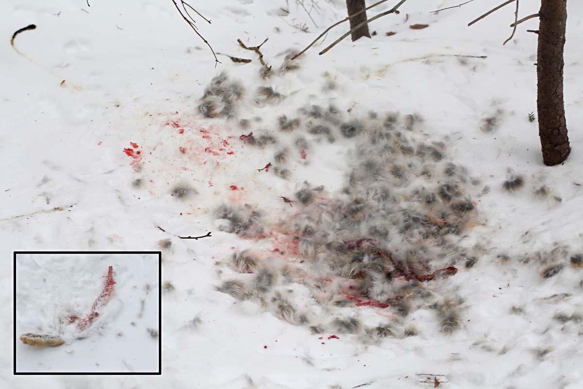 1-14-15 snowshoe hare kill site 076
