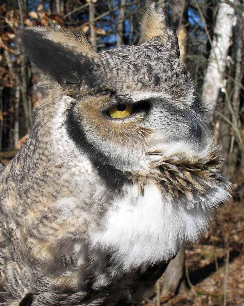 1-22-15  great horned owl IMG_5973