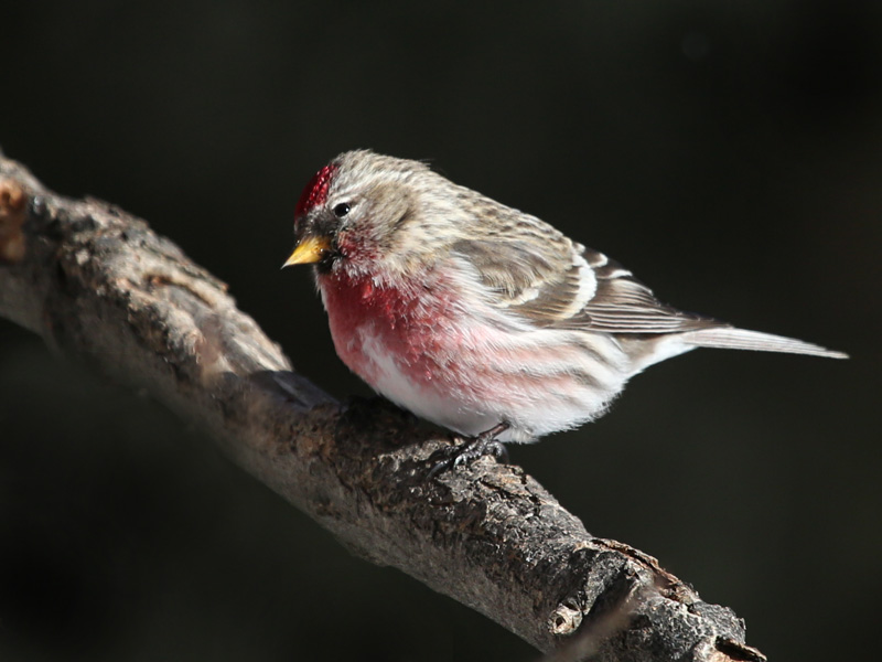 1-26-15 common redpoll male 077