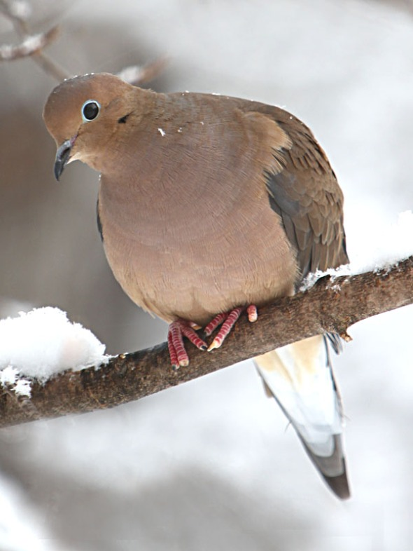 1-28-15  mourning dove IMG_0746