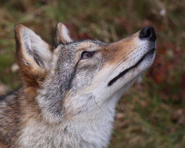 1-30-15 coyote2  143