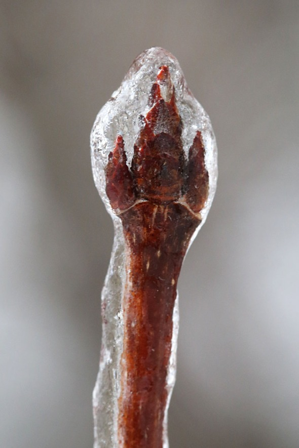 1-5-15  ice-covered sugar maple buds 170