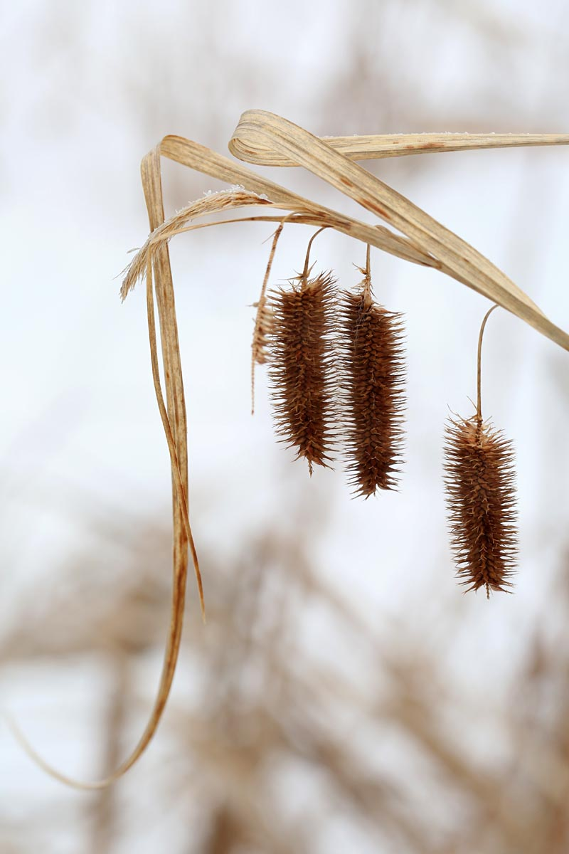 1-6-15  sedge fruit in winter 057