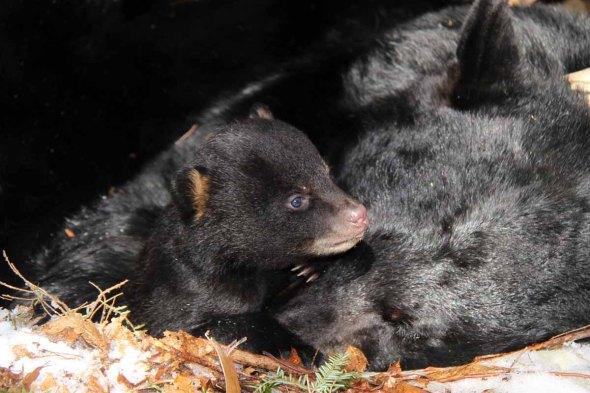 1-9-14  black bear cubIMG_0391