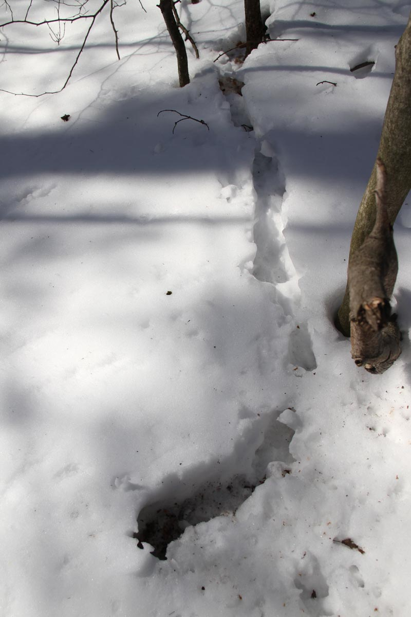 2-10-15  red squirrel snow tunnel IMG_0579
