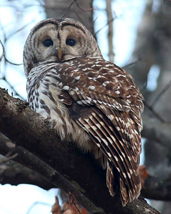 2-11 barred owl 057