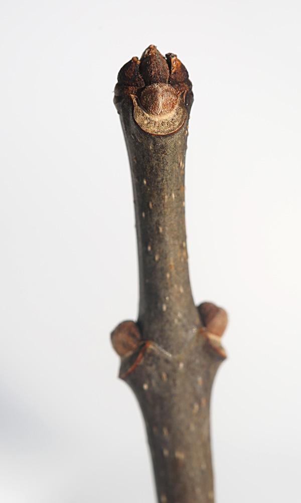 2-19 white ash leaf scar 007
