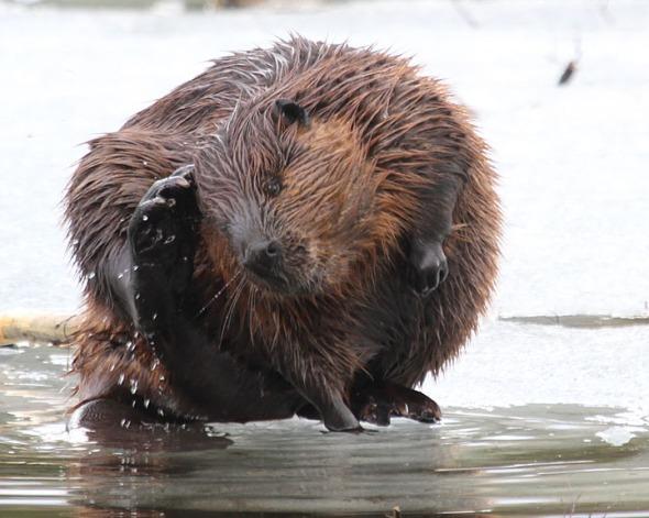 2-24-15  beaver grooming IMG_3896