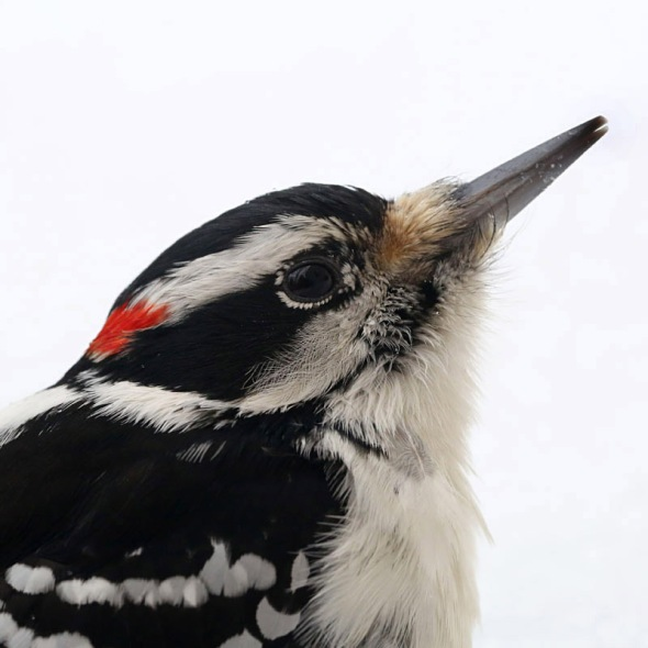 2-4-15  hairy woodpecker 072