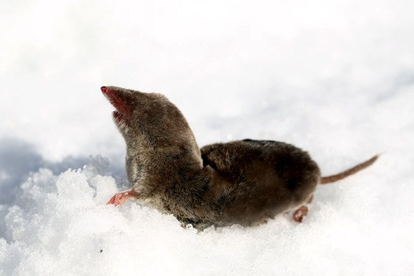 2-4-15  northern short-tailed shrew 025