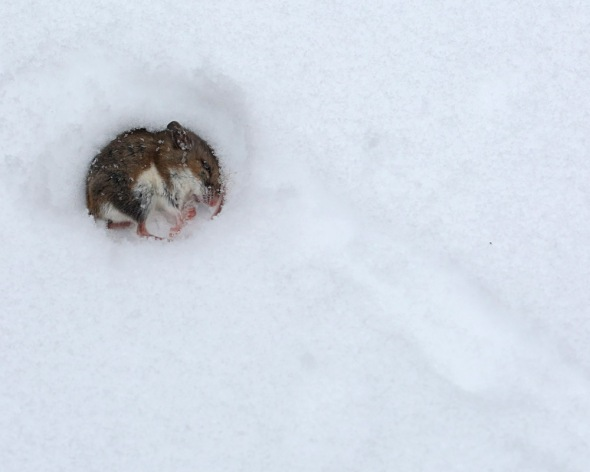 2-5-15  deer mouse 022