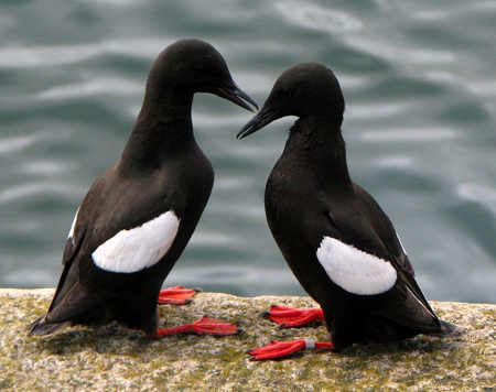 Guillemots_Pair
