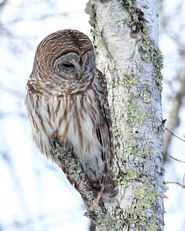 3-12-15 barred owl 152