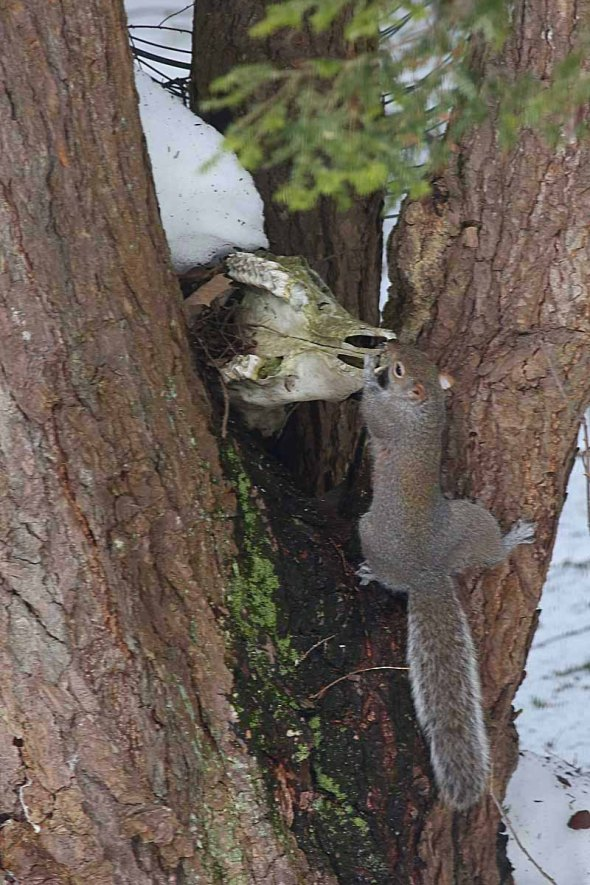 3-13-15  gray squirrel 001