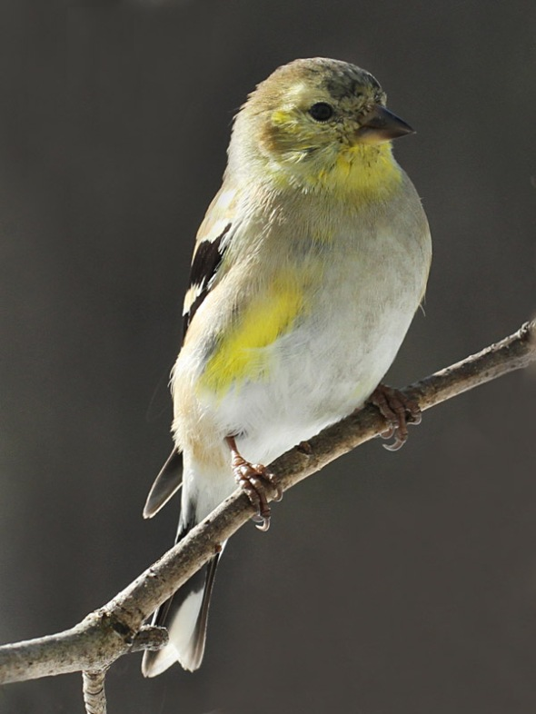 3-17-15  male American goldfinch IMG_0482