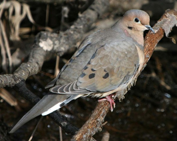 3-19-15 -mourning dove IMG_2091