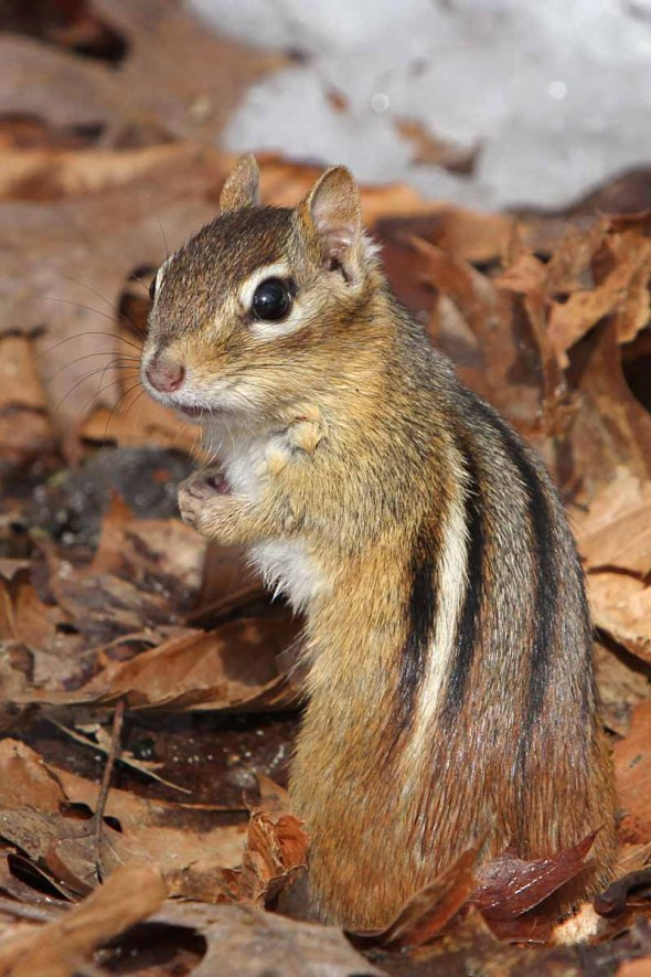3-23-15  eastern chipmunk IMG_2146