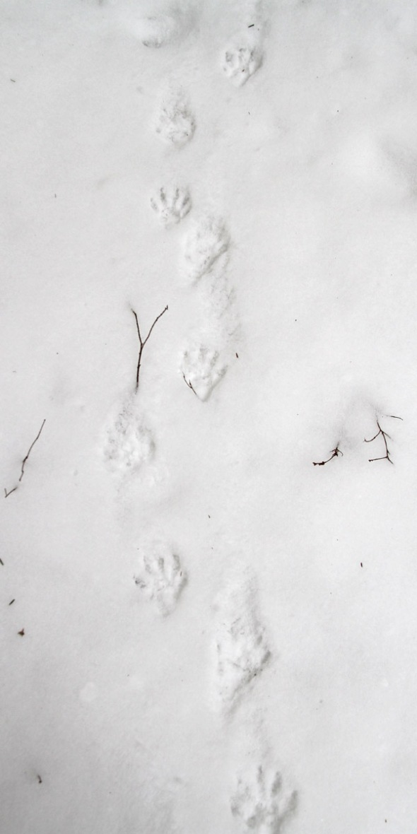 3-27-15 raccoon tracks in snow IMG_5071