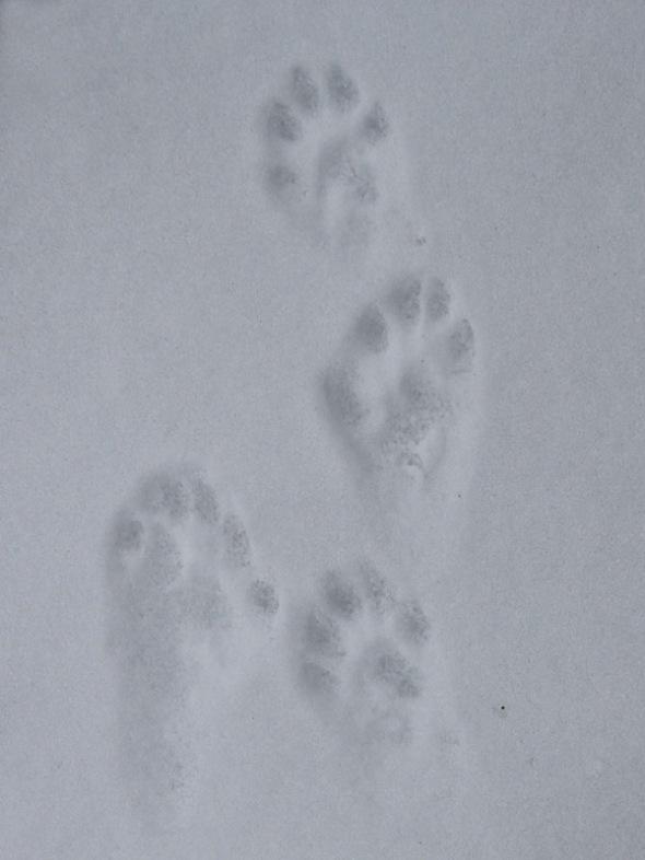 3-3-15 otter tracks IMG_5843