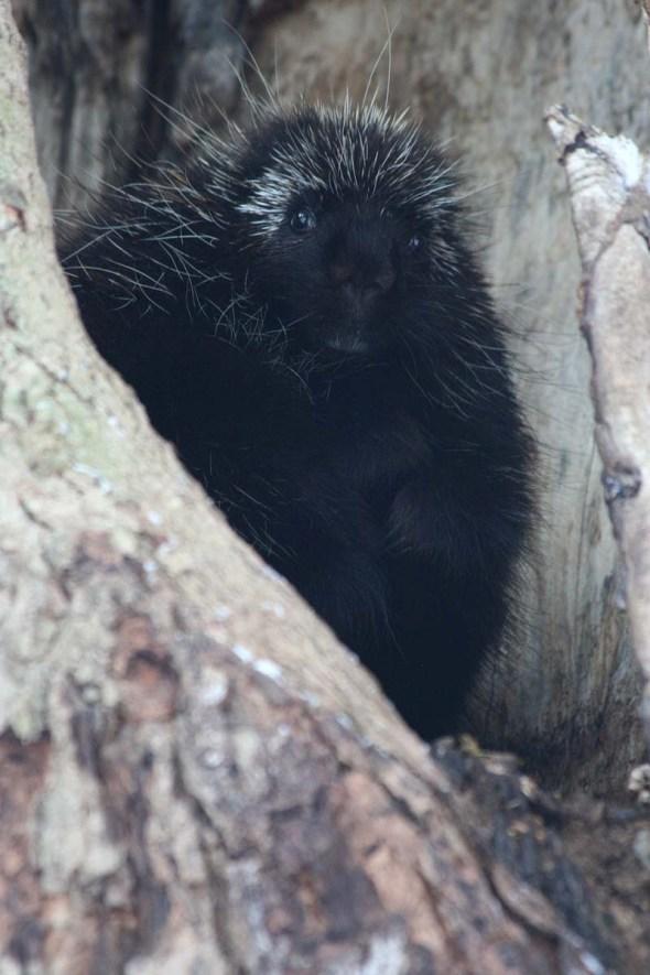 3-6-15 porcupine2 IMG_5163
