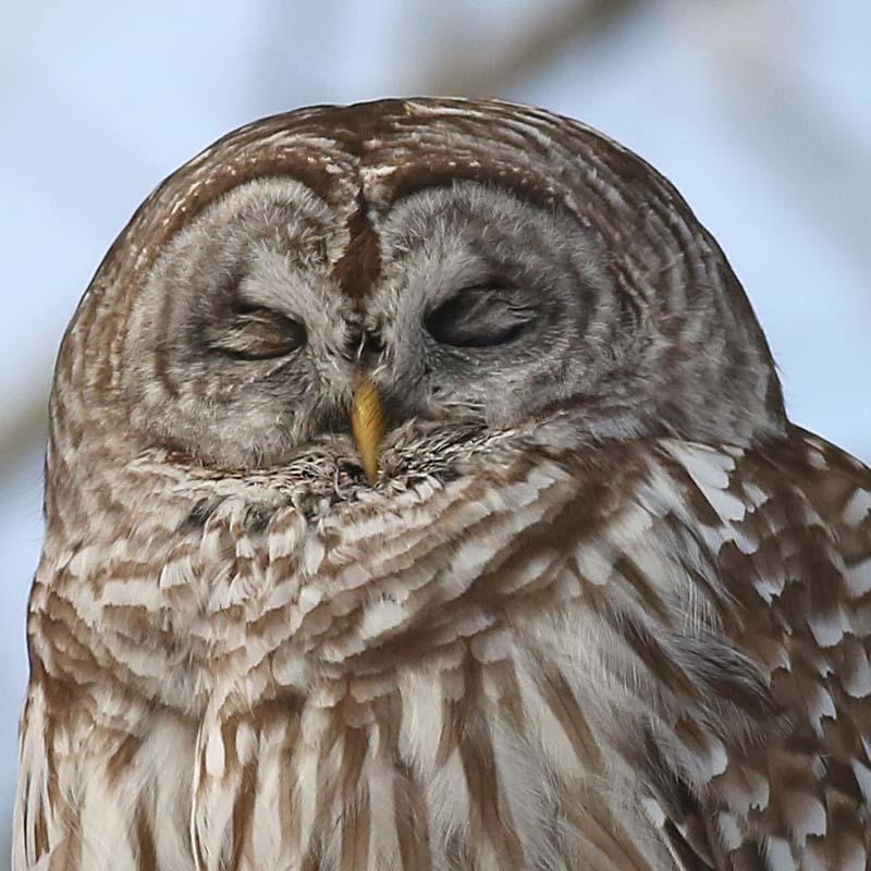 barred owl 194