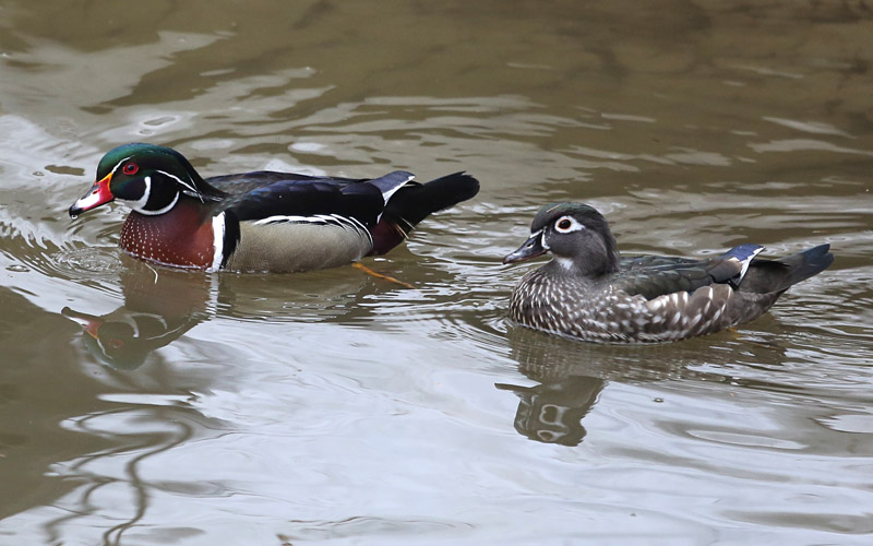 4-13-15  wood ducks 284