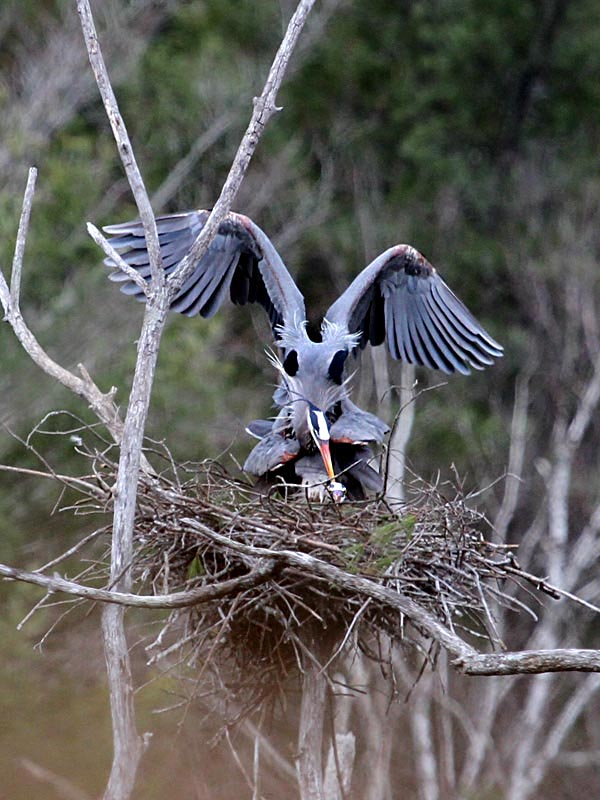 4-15-15  great blue herons copulating2  IMG_8954
