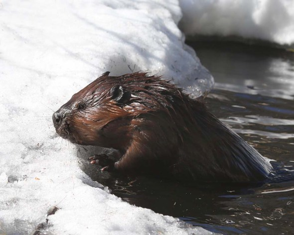 4-17-15 beaver 281