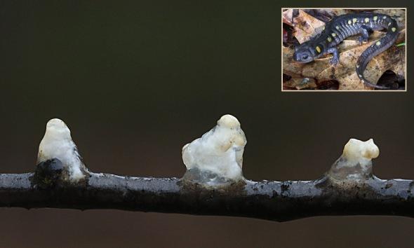 4-23 spotted salamander spermatophores 058