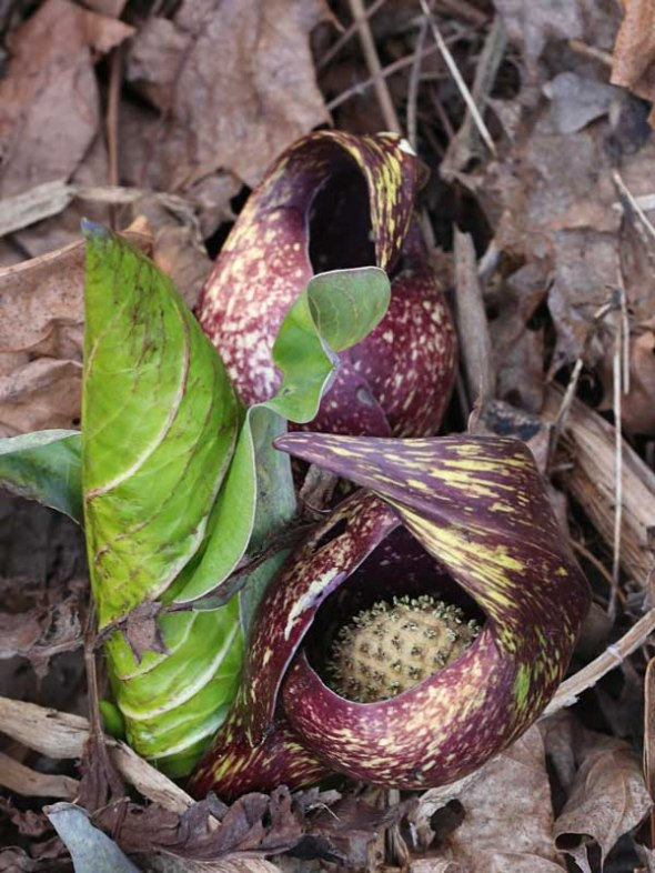 4-24-15  skunk cabbage 013