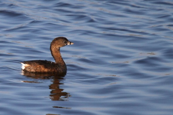 4-8-15 pied-billed grebe 1370