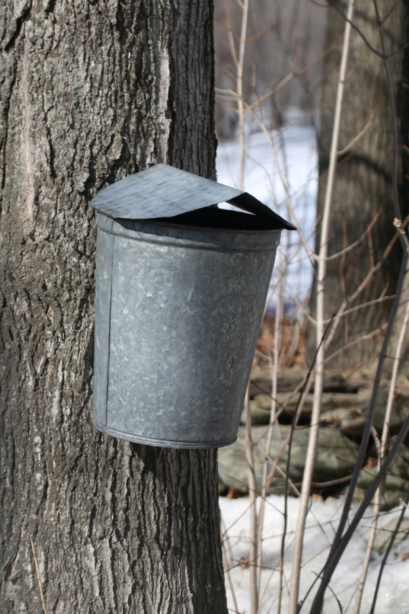 4-8-15 sugar maple & pail 226