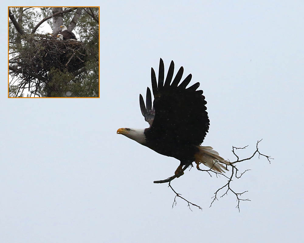 4-9-15  bald eagle and nest 069