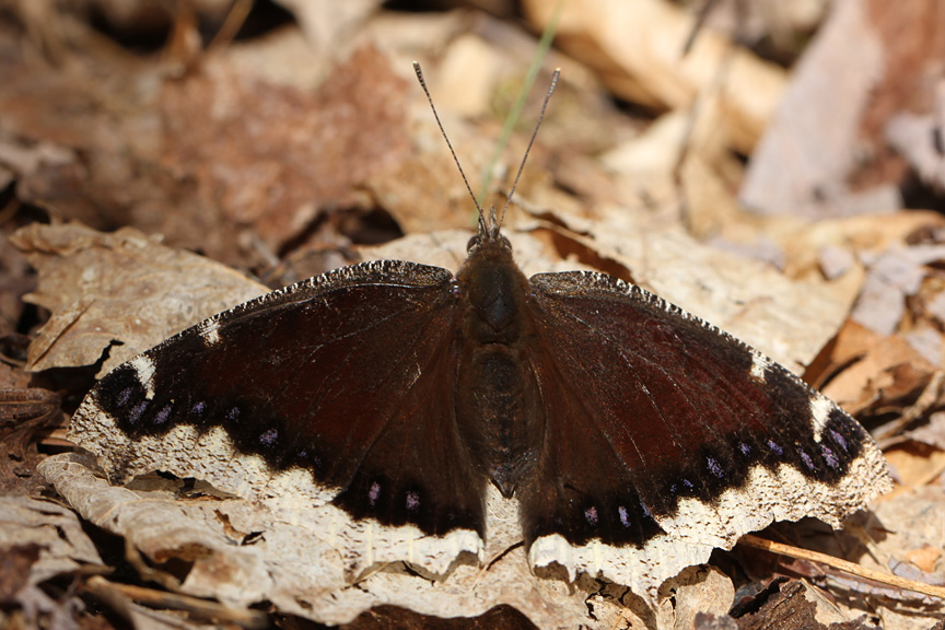 mourning cloak butterfly IMG_5755