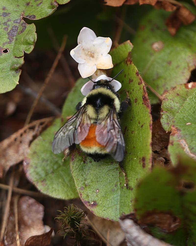 queen bumblebee 098