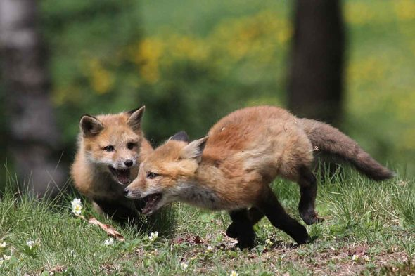 5-14-15  red fox kits IMG_7313