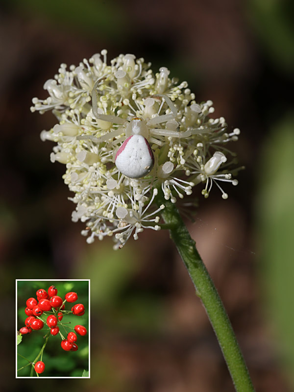 5-15-15  red baneberry & goldenrod crab spider  087