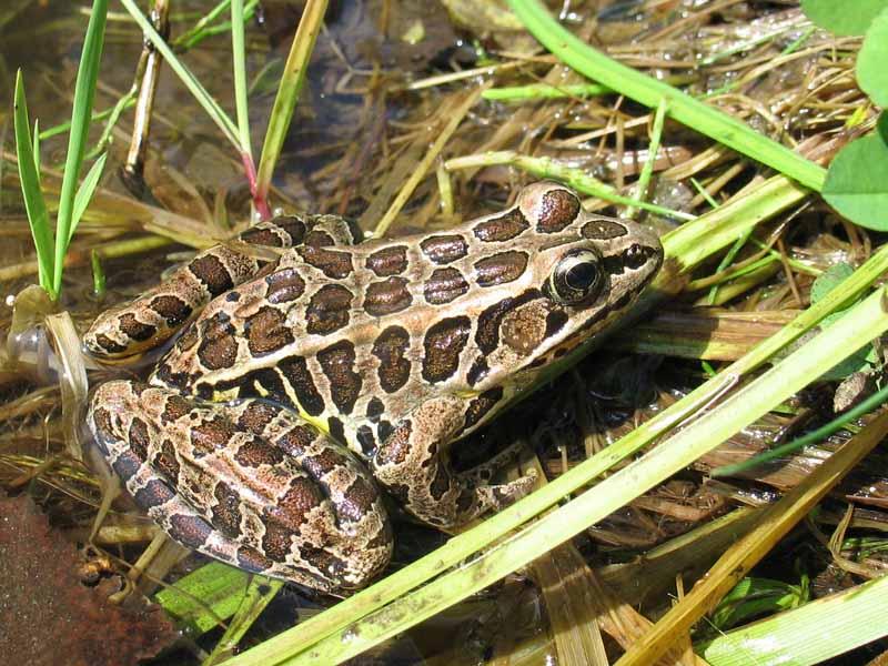 5-18-15 pickerel frog IMG_3937