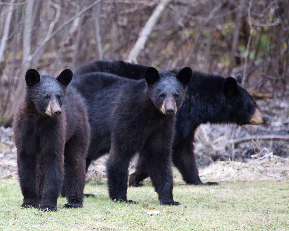 5-19-15  black bears 067