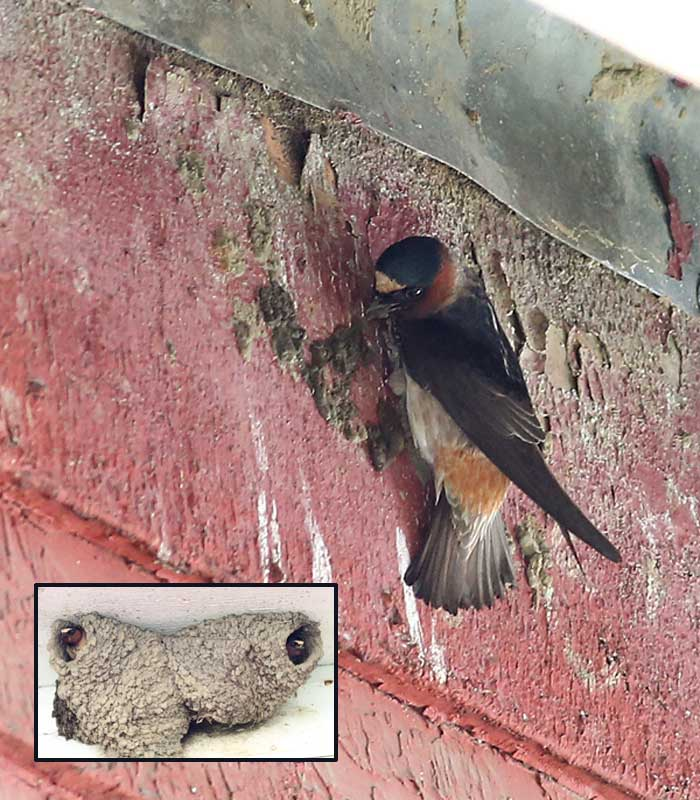 5-19-15 cliff swallow 719