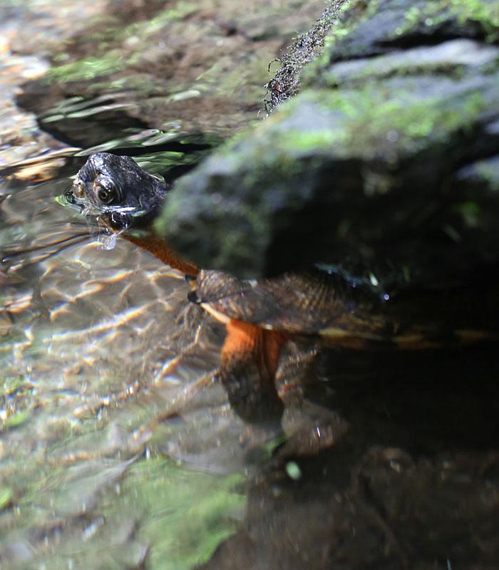 5-7-15 wood turtle  088