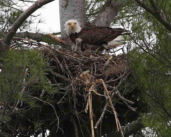 bald eagles2  254
