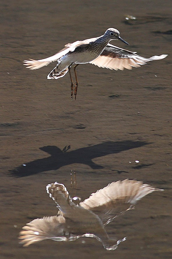 email-solitary sandpiper, shadow, reflection2 070