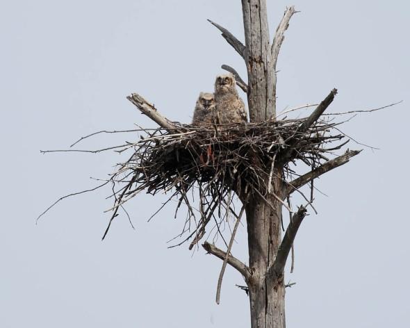 great horned owl 454