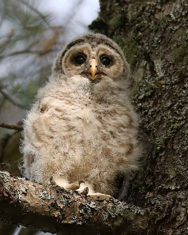 6-18-15  barred owl fledged 155